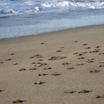 Chacahua-Turtles-On-Playa